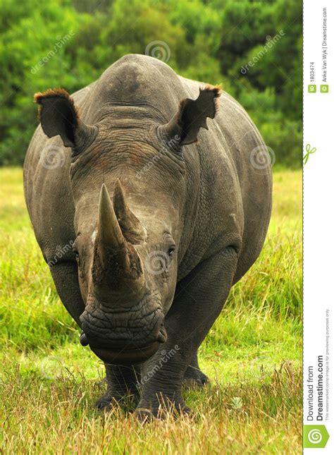 rhino rhinoceros stock images image