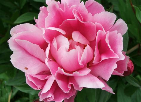 pink peonies flower picture gallery