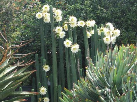 Simon S Chaliponga Diplopterys Cabrerana Guide Simon S simon s san pedro cactus guide simon s highs