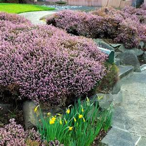 the most beautiful spring flowering shrubs gardens sun