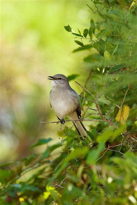 19 best all about northern mockingbirds images on