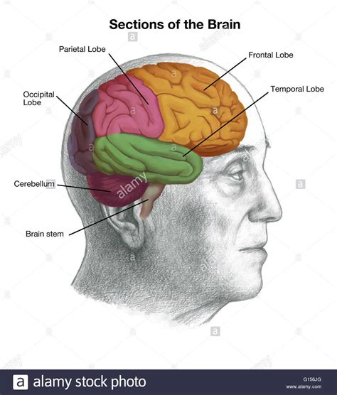 the brain sections illustration of a man s head with the location of the