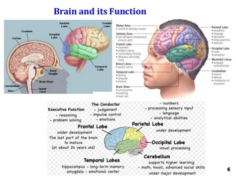 diagram of the and its functions encoding brain anatomy pictures pictures to pin on