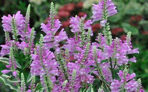 vivid obedient plant picture gardenality