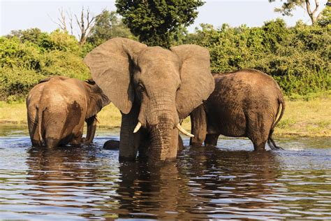 These Constantly Migrate In Search Of Food Elephant Habitat This Is Where These Animals Really Belong