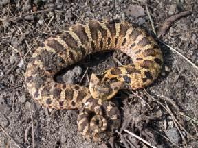 hognose snakes heterodon