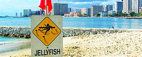 Jellyfish Sting   2018 Hawaii Caution Dates and Treatments