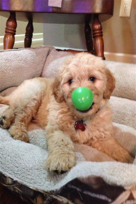 goldendoodle puppy toys toys for your goldendoodle goldendoodle puppies for sale
