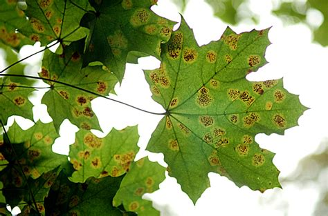 maple tree brown leaves fungi infecting maple trees in maine news bangor daily news bdn maine