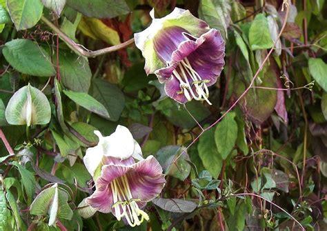 immergrüne kletterpflanze winterhart cobaea scandens violette glocke glockenrebe