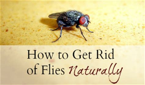 How To Get Rid Of Flies In The House by How To Get Rid Of Flies Inside And Outside