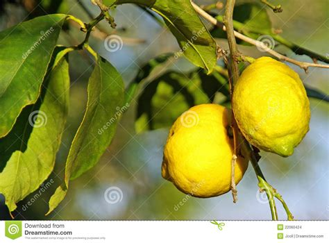 Lemon Tree Gift Card - lemon tree cards cake ideas and designs