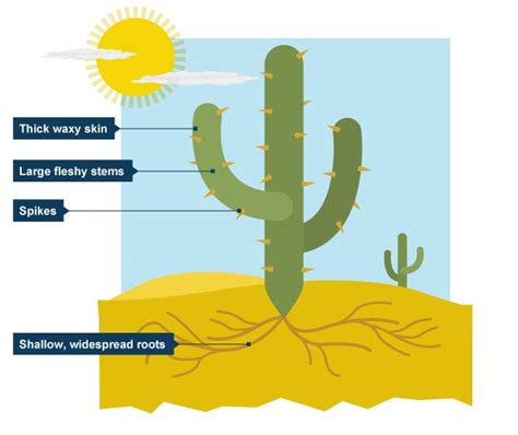 succulents plants adaptations for kids diagram of cactus google search 1st grade art projects