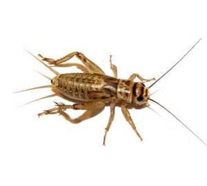 crickets crickets and more crickets central illinois pest termite control company