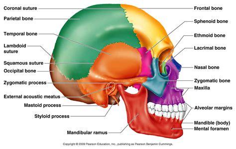diagram of the skull classification of bones