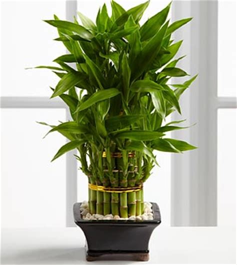 indoor plants for sale indoor bamboo plants care of lucky plants for sale care