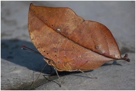 membuat kolase kupu kupu dari daun kering 10 hewan yang menyerupai daun dan bunga sharing di sini