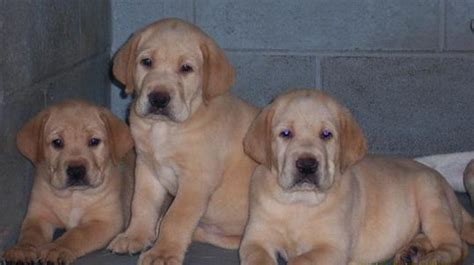 lab puppies for sale yellow lab puppies for sale and yellow lab puppy breeder
