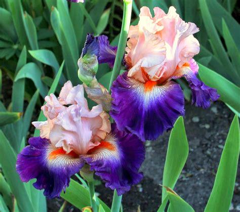bearded iris world of irises quot talking irises quot bearded iris year blooms 2014