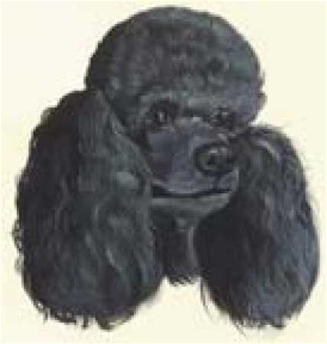 lifespan of a poodle black poodle metal ornament signs ornaments home