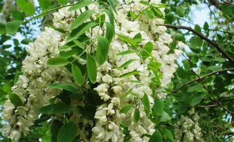 fiori acacia acacia il fiore buono da mangiare e fa bene