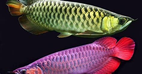 Pompa Akuarium Ap 1200 12watt ajas manfaat tips merawat ikan arwana dalam akuarium