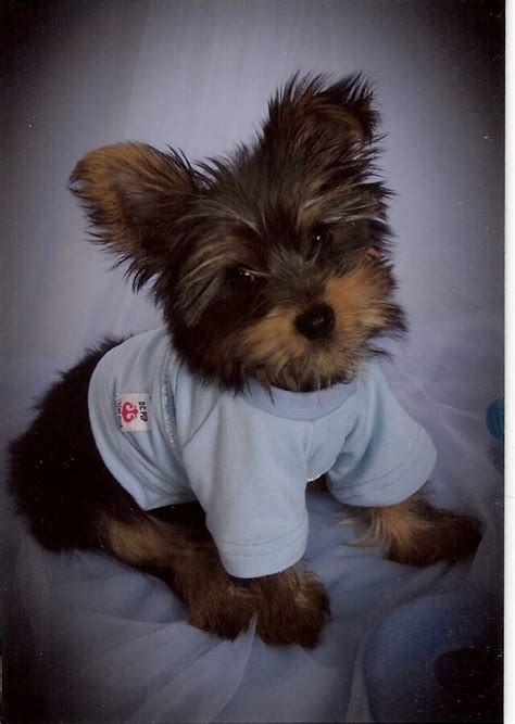 arkansas yorkies for sale blue yorkie puppies breeds picture