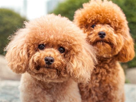 Miniature Non Shedding Breeds by 100 Hypoallergenic Non Shedding Small Breeds
