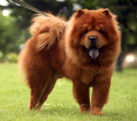 what is puppy chow chow chow breed 187 information pictures more