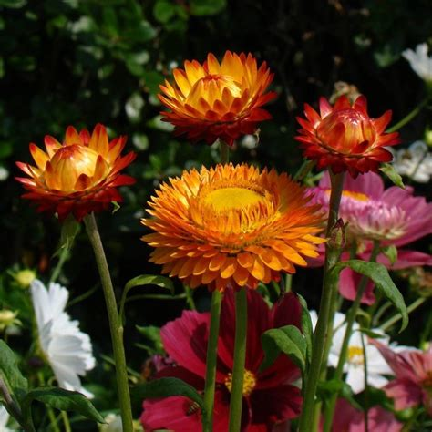fiore elicriso elicriso lucido fior di carta helichrysum bracteatum