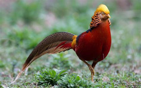 Golden Bird golden pheasant hd wallpaper and background