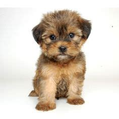 famous people who own yorkie poms aww it s a porkie pomeranian and yorkie mix animals