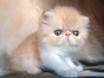 cuccioli persiani disponibili oltre 25 fantastiche idee su gatti persiani su