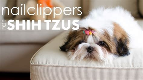 clippers for shih tzu best nail clippers for shih tzu s protecting your pup s paws herepup
