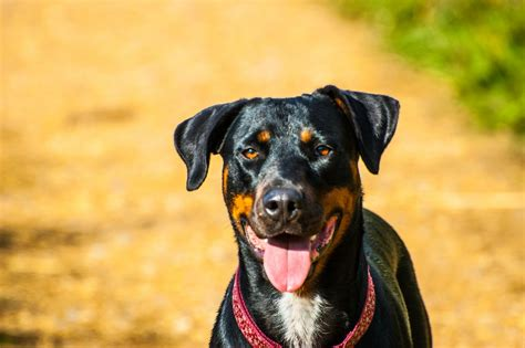 rottweiler needs beautiful doberman x rottweiler needs a home norwich norfolk pets4homes
