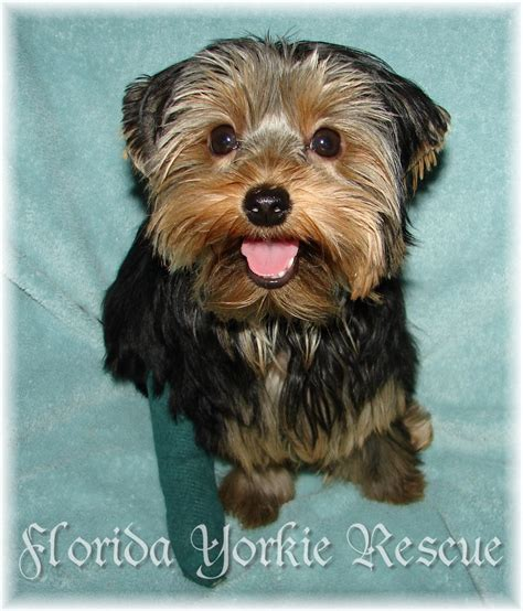 rescue yorkies in florida click images to enlarge