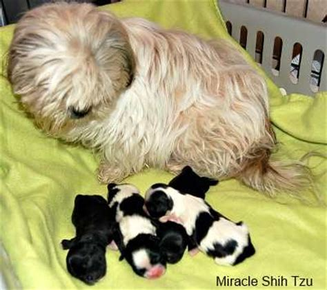 average size of a shih tzu twenty shih tzu facts