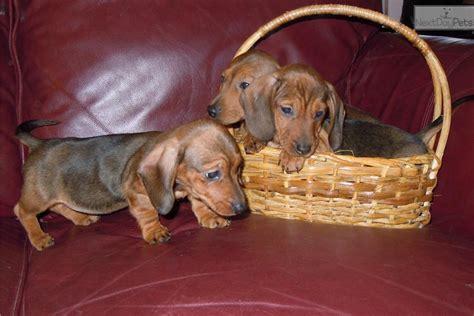 dachshund puppies va dachshund mini puppy for sale near winchester virginia 4435613b 7851