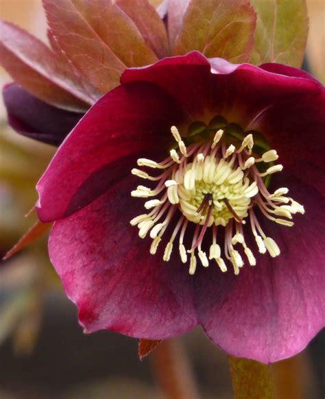 helleborus nurseries canada plants direct plant nursery in bc canada