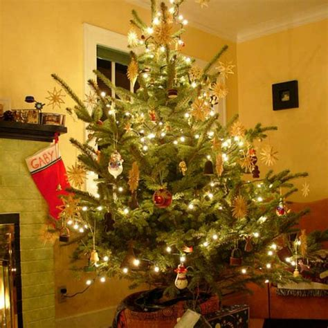 how to care for live christmas tree how to care for your living tree hgtv
