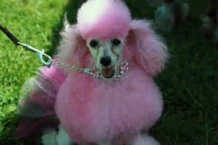 colored dogs doggie hairstyles on hair bows bows