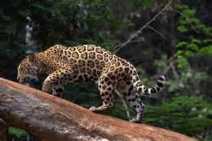 Do Jaguars Eat Plants Tundra Herbivores Animals Car Interior Design