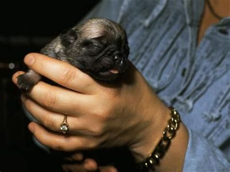 pug puppy development stages how do newborns puppies need to drink milk treats stinky and