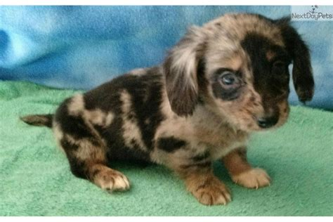 miniature dachshund puppies for sale in oklahoma dachshund mini puppy for sale near lawton oklahoma 0ce2e2a0 bc41