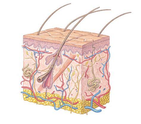 co receptivo de la piel dermatologia estructura y funciones de la piel