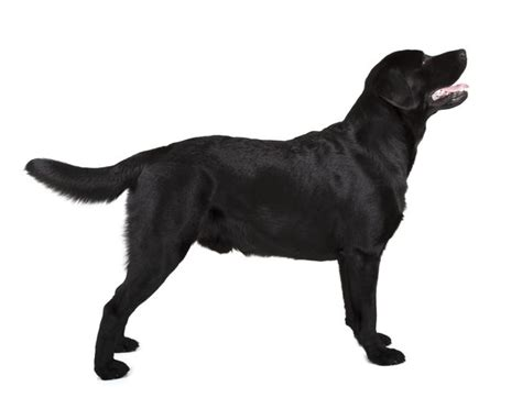 german shepherd expectancy expectancy for a german shepherd black lab mix cuteness