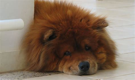 Do Chows Shed by 10 Lazy Breeds For Apartment Living Point Ruston
