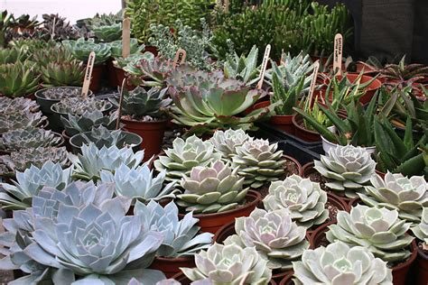 succulents meaning types of succulents eastern leaf knowledge base