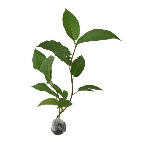 Tanaman Herbal tanaman suruhan bibitbunga