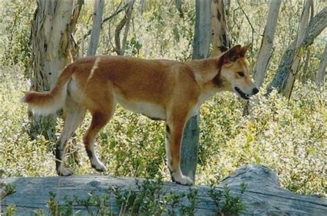 dingo dogs dingo information and pictures